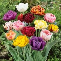 Суперпредложение! Махровые тюльпаны, смесь из 15 штук