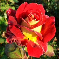 Роза штамбовая Монте Карло Кантри Клаб