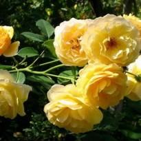Роза штамбовая Грэхам Томас