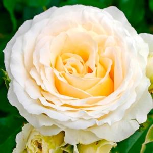Роза Космос KORDES