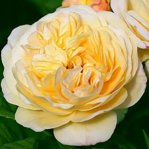 Роза штамбовая Чарльз Остин