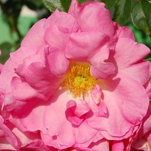 Роза Маниту
