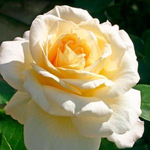 Роза Ла Перла KORDES