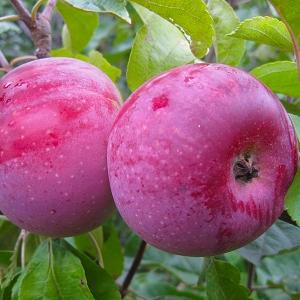 Яблоня зимняя Алеся