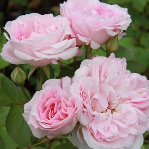 Роза штамбовая Морден Блаш