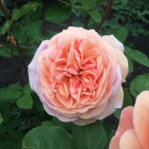 Саженцы Роз и Сирени