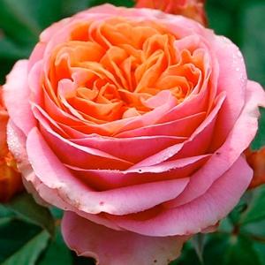 Роза Мэри Энн TANTAU