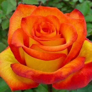 Роза Золотой Дракон