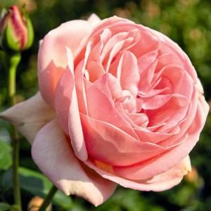 Роза Афродита TANTAU