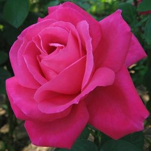 Роза Виен Роуз