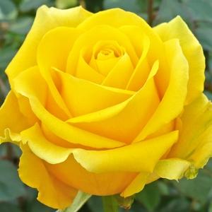 Роза Скай Лайн