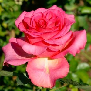 Роза штамбовая Мондиаль