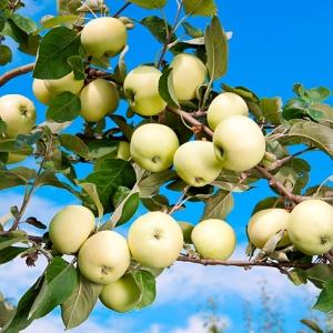 Яблоня летняя Белый налив