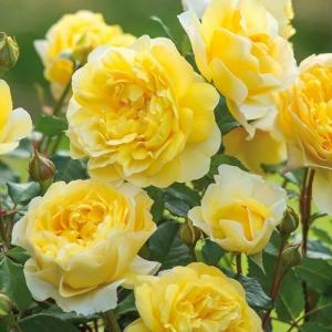 Роза Сувенир де Марсель Пруст