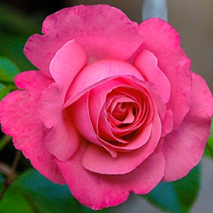 Роза Розанна KORDES