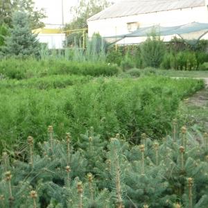 Саженцы, сеянцы хвойных на доращивание
