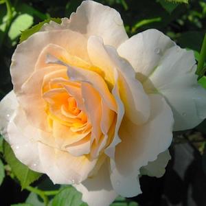 Роза Марджори Маршалл Harkness