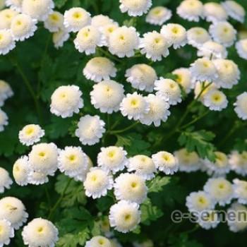 Хризантема партениум белая