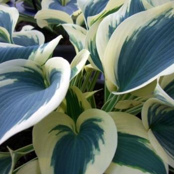 Blue Ivory
