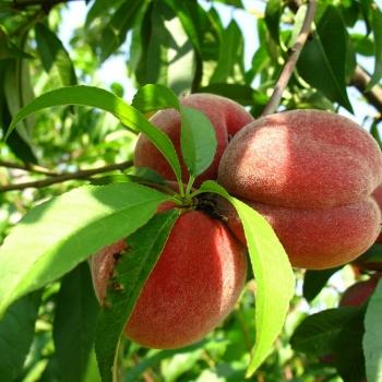 pfirsichbaum sorten pfirsichbaum schneiden krankheiten. Black Bedroom Furniture Sets. Home Design Ideas