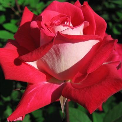 Роза биколетте описание и фото
