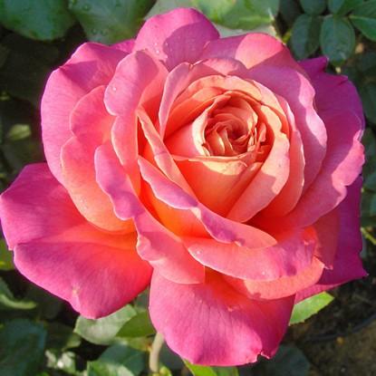 Роза Чикаго Пис