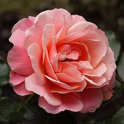 Роза Боттичелли MEILLAND