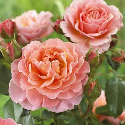 Купить штамбовые розы беларусь купить тюльпаны в симферополе оптом