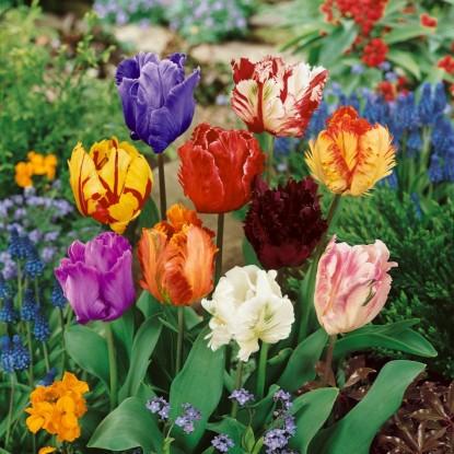 Суперпредложение! Попугайные тюльпаны, смесь из 15 штук