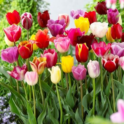 Суперпредложение! Тюльпаны триумф, смесь из 15 штук