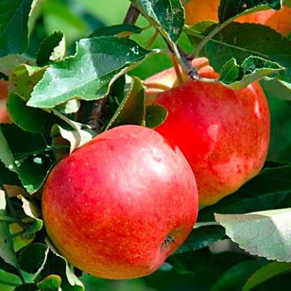 Яблоня осенняя Грушевое