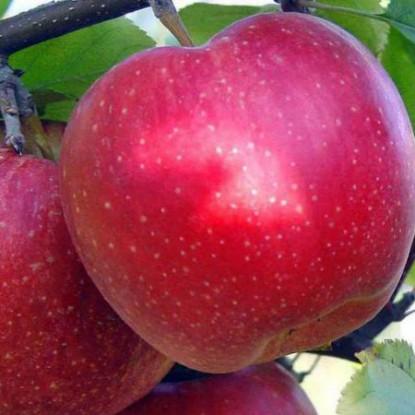 Яблоня зимняя Антей