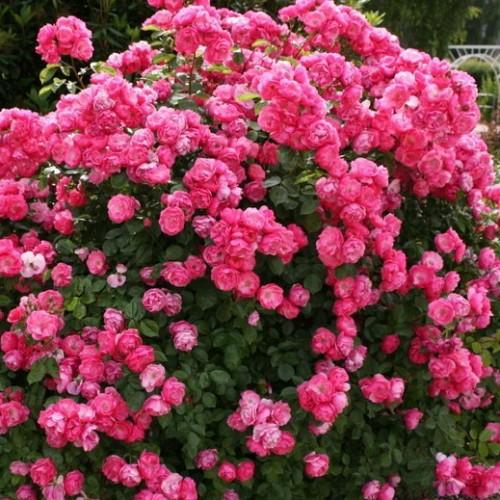 Где можно купить садовые розы заказать букет для невесты, киев