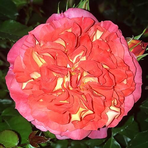 Многолетники садовые редкие розы плетистые кордеса где купить любовь с доставкой на дом новогодний букет си автор hikikomori-sama