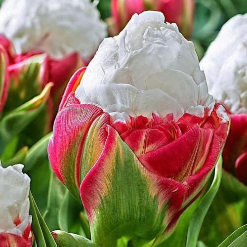 Купить дёшево луковичные цветы