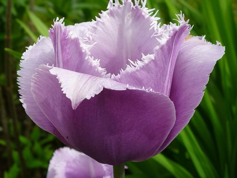 блю херон тюльпан фото