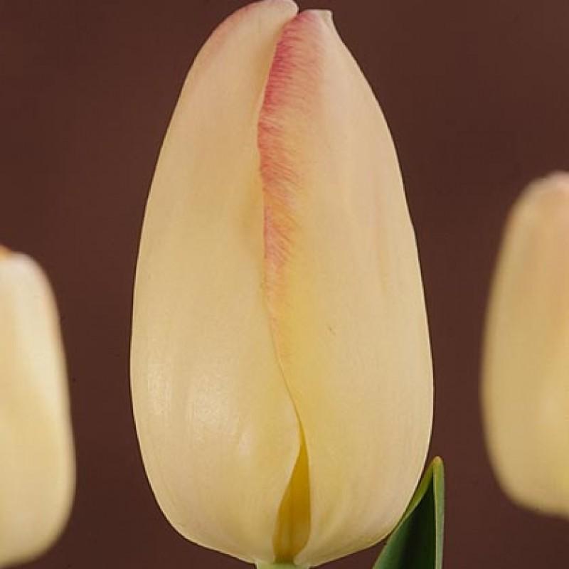 Тюльпаны Блашинг Брайд
