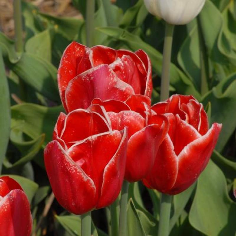 Тюльпаны Инвэйжн