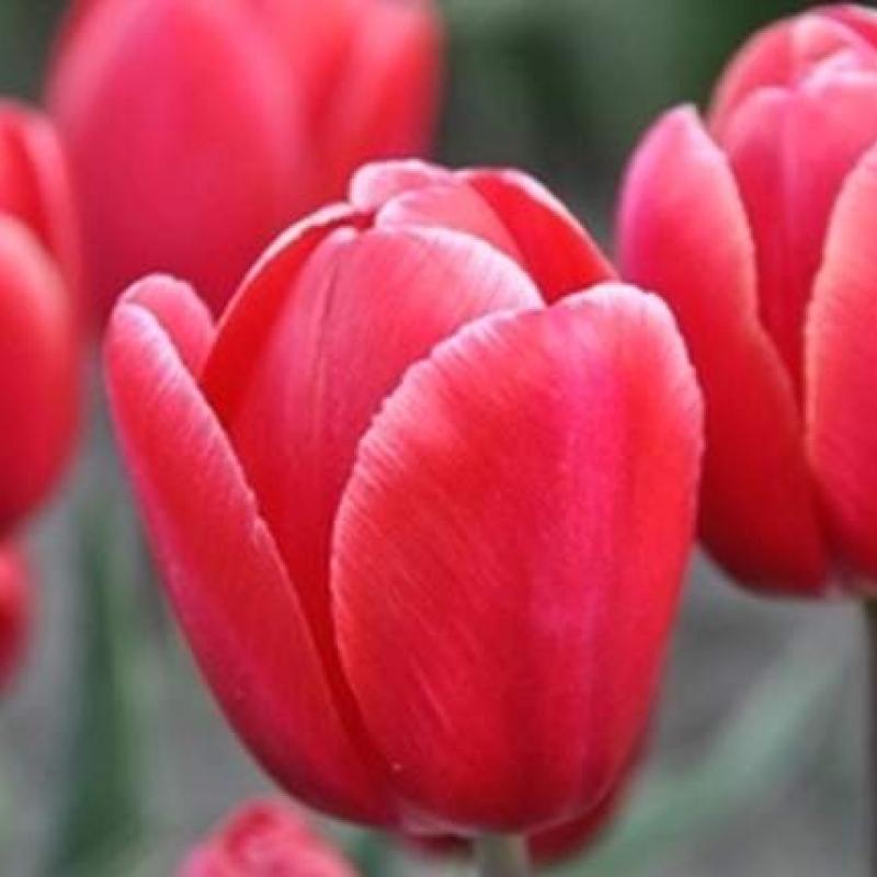 Тюльпаны Седов