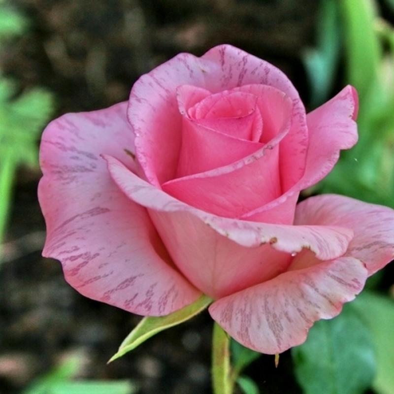 Розы Коперник