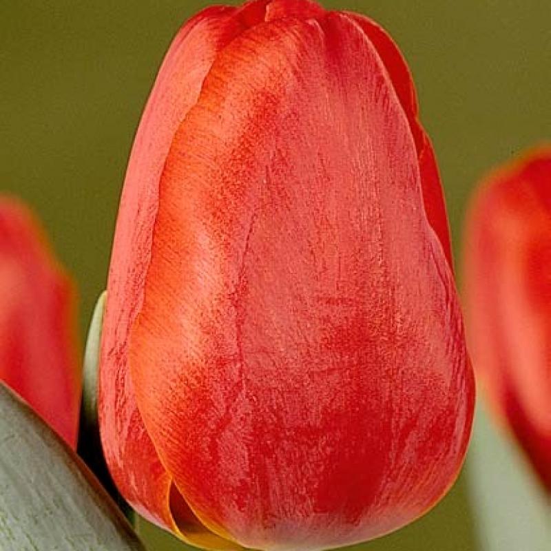 Тюльпаны Олаф Палм