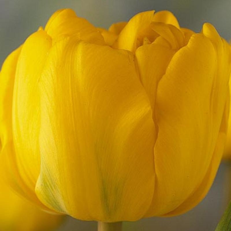 Тюльпаны Кареол