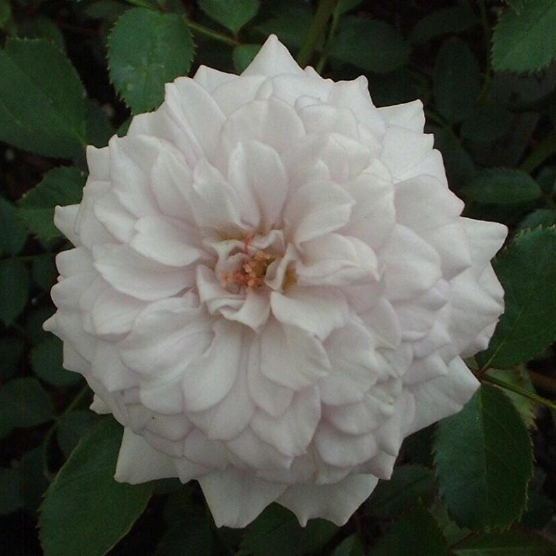 Розы Уинтер Мейджик