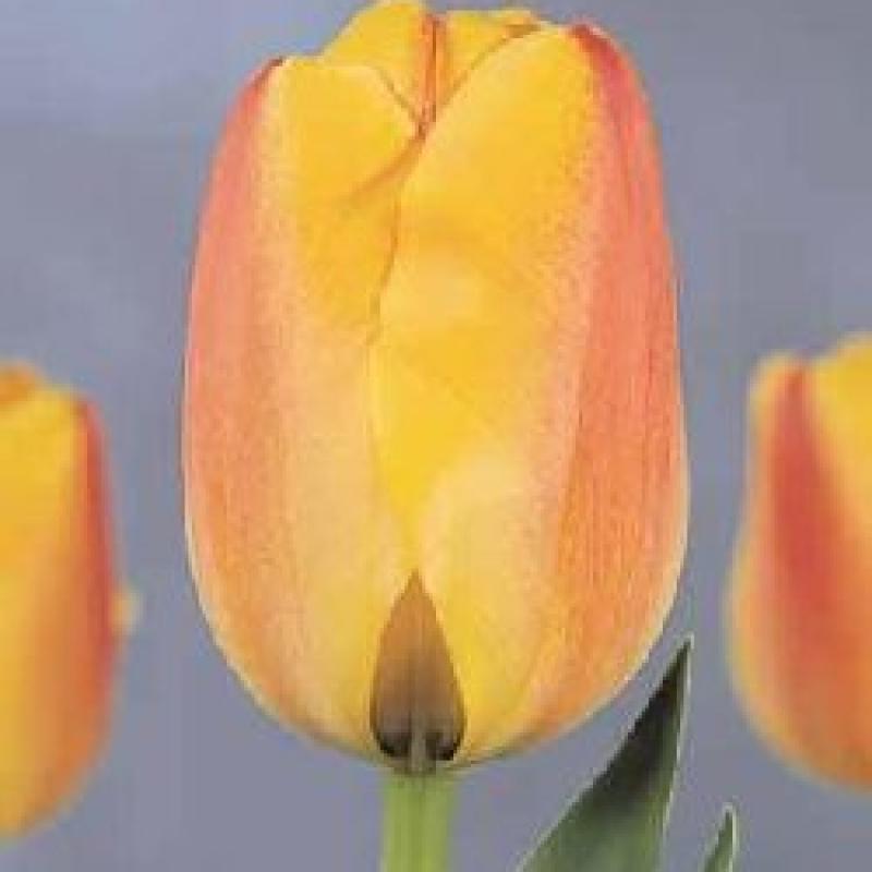 Тюльпаны Бенвеню