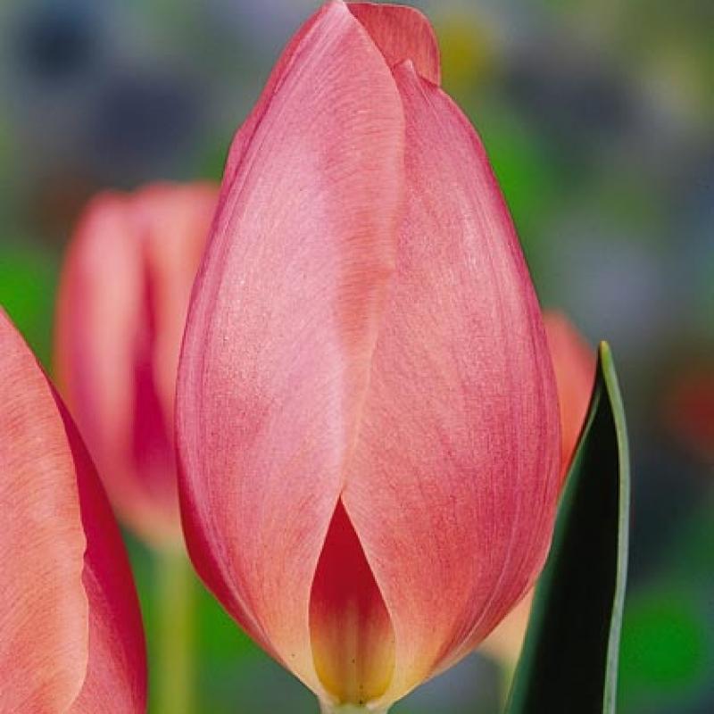 Тюльпаны Глоуинг Пинк