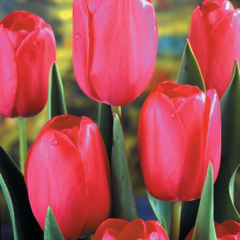 Тюльпаны Гранд Стайл