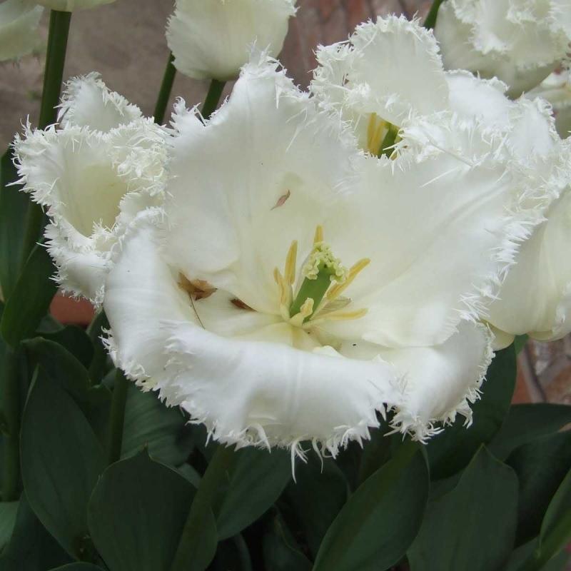 Тюльпаны Дайтона