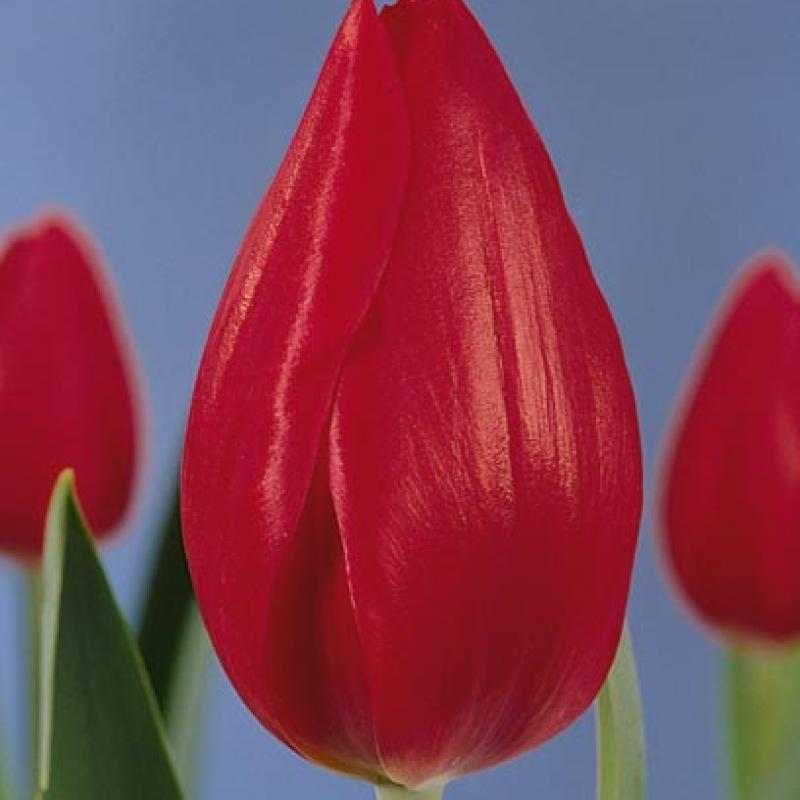 Тюльпаны Ферст Лион