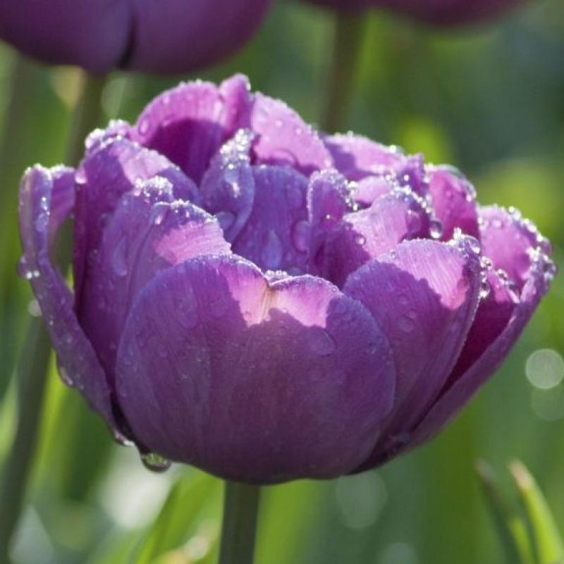 Тюльпаны Блю Спектакль