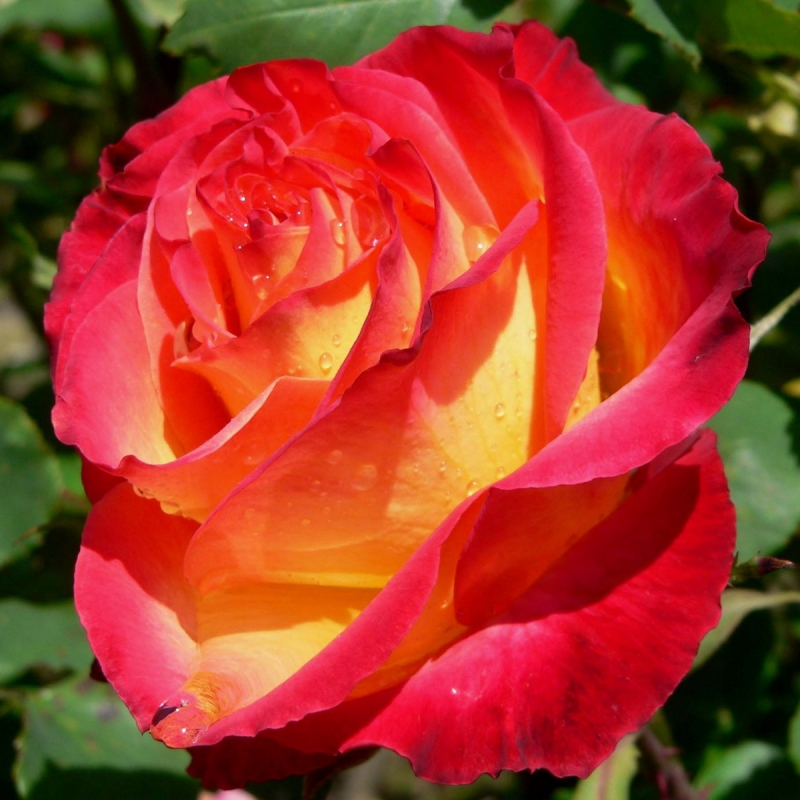 Розы Перфект Момент